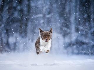 Bordercollie-narttu Neri juoksemassa lumisateen keskellä Viitaniemen uimarannalla Jyväskylässä