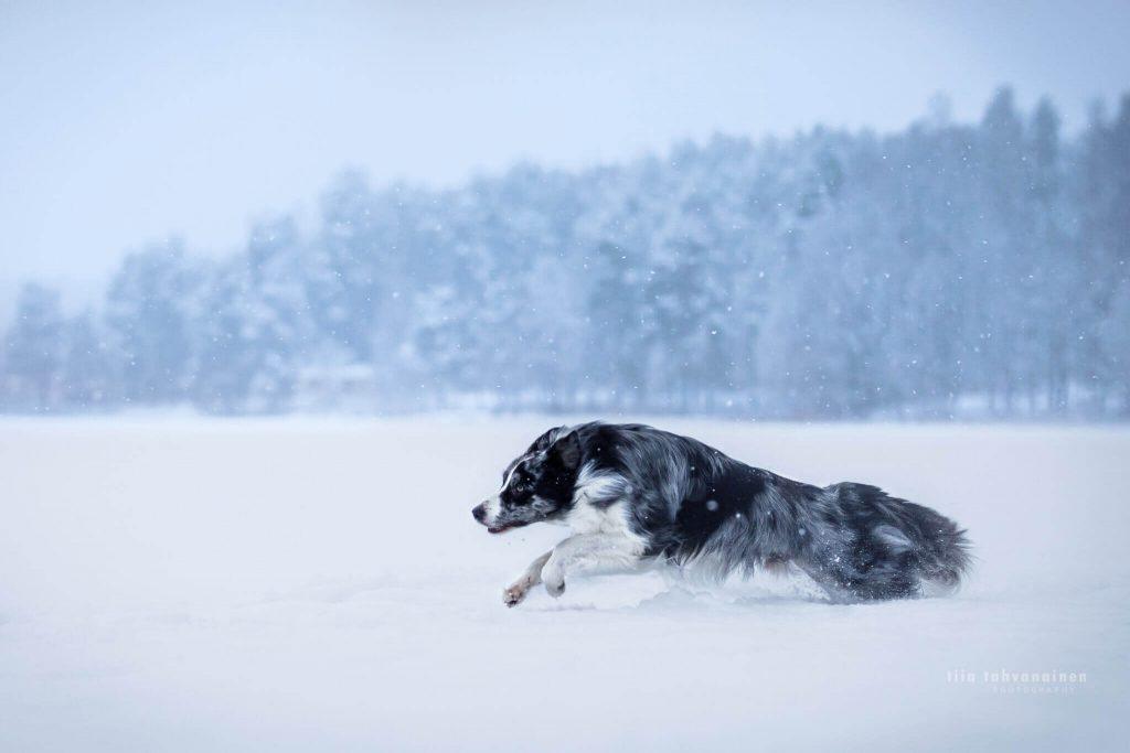 Bordercollie-uros Roti juoksemassa lumihangessa järven jäällä Jyväskylässä maiseman ollessa sinertävä