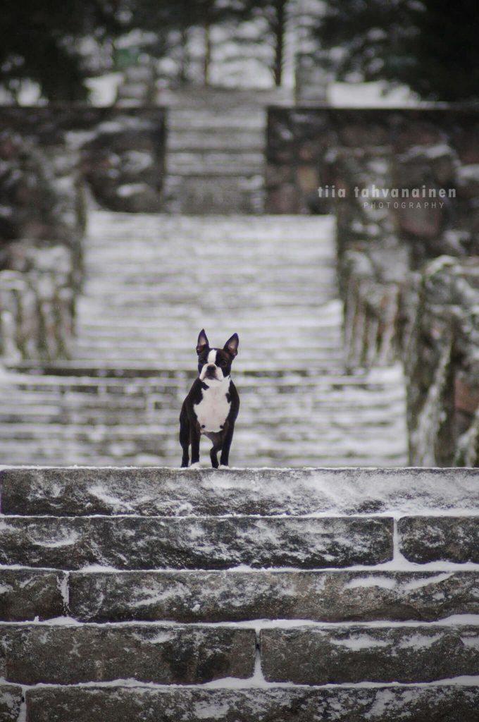 Bostoninterrieri seisomassa lumen peittämien Jyväskylän Harjun kiviportaiden päällä, portaiden jäädessä kuvan taustalle