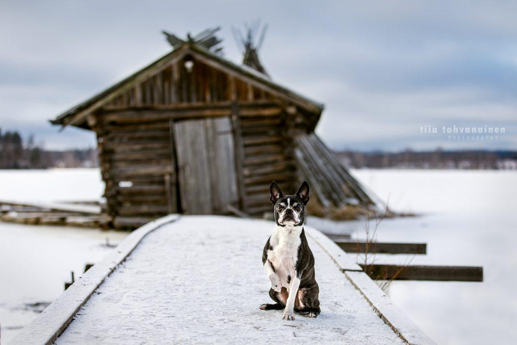 Bostoninterrieri Onni talvisella laiturilla järven rannalla, taustalla hieman vinossa oleva, vanha venevaja Savutuvan apajalla Jyväskylän Haapaniemessä