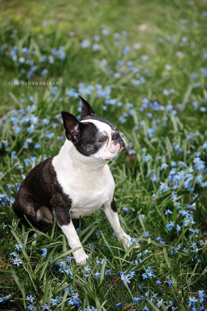 Bostoninterrieri Igor haaveilemassa sinisten kukkien ympäröimänä Helsingissä