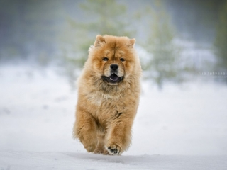 Chow chow Mauno juoksemassa lumisessa maisemassa kohti kameraa