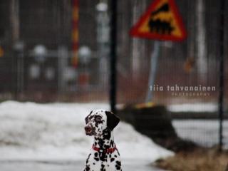 Dalmatialainen istumassa urbaanissa maisemassa, taustalla liikennemerkkiä, aitaa ja lumikasaa