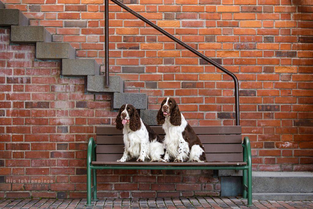Englanninspringerspanielit Kaapo ja Paavo istumassa puisella penkillä tiiliseinäistä portaikkoa vasten Jyväskylän Seminaarinmäen yliopistoalueella