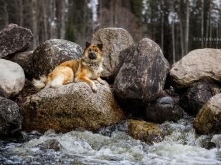 Eurasier Cloudy makaamassa kiven päällä kosken virratessa kivien välistä Kapeenkoskella