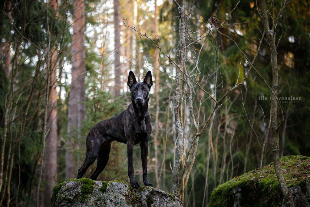 Hollantilainen paimenkoira Stara seisomassa ylväänä sammaloituneiden kivien päällä metsän keskellä
