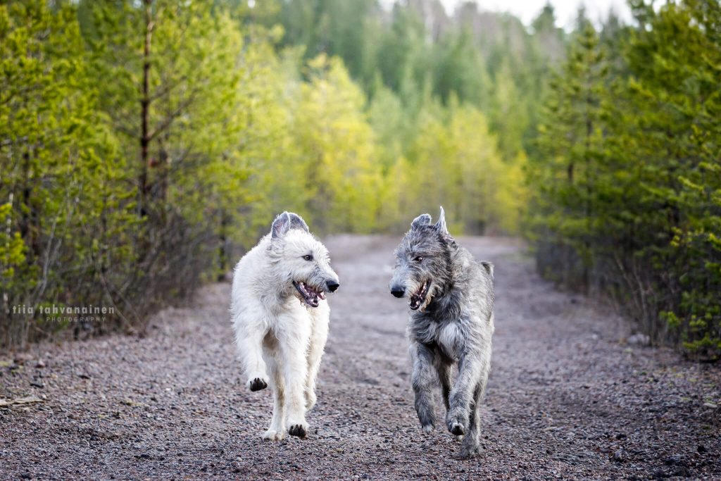 Irlanninsusikoira-nartut Pirkko ja Irma juoksemassa puiden reunustamalla soratiellä kohti kameraa, veikeästi toisiaan katsoen