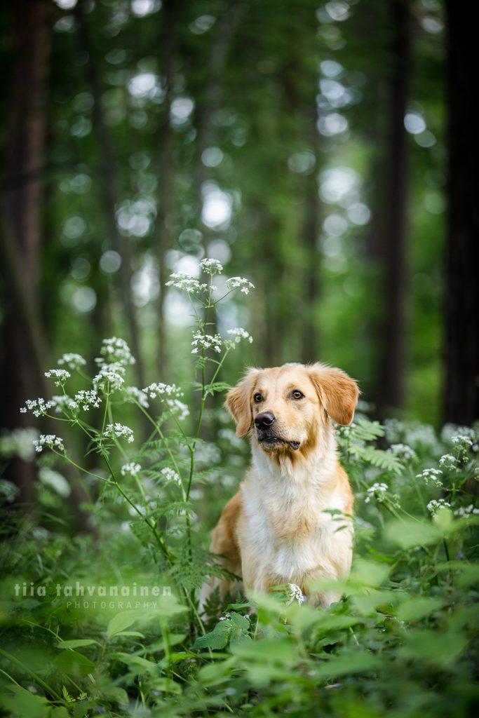 Käyttölinjainen kultainennoutaja-narttu Kuu koiranputkien ympäröimänä metsässä