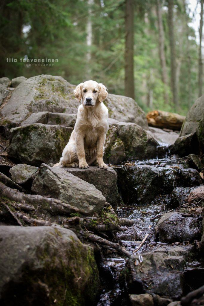 Kultaisennoutajan pentu Riepu istumassa virtaavan puron edustalla kivellä Espoon keskuspuistossa