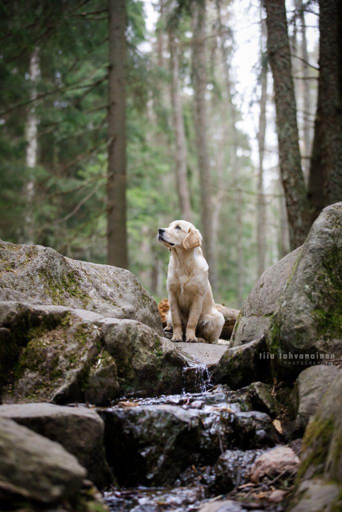Kultaisennoutajan pentu Riepu istumassa puron yläpäässä kivien ympäröimänä Espoon keskuspuistossa