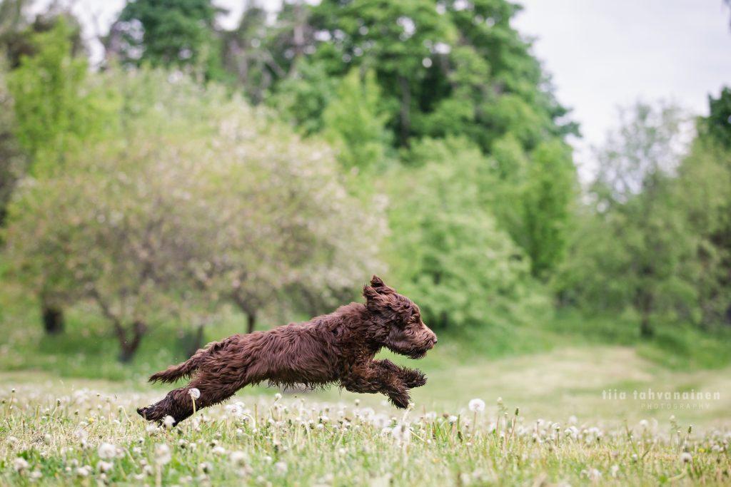 Labradoodle-pentu Teddie juoksemassa Malminkartanon omenapuutarhassa, Helsingissä