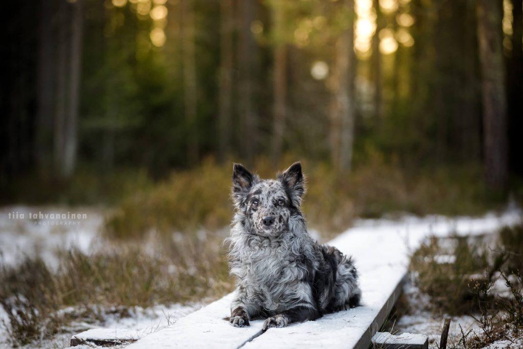 Mudi Unå makaamassa lumen peittämillä pitkospuilla Sonninmäen luontopolulla, Hyvinkäällä auringon laskiessa puiden lomaan