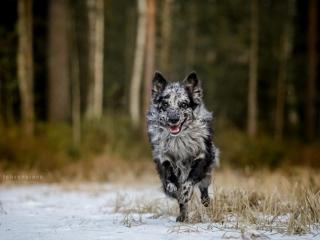 Mudi Unå juoksemassa lumisella suolla kohti kameraa