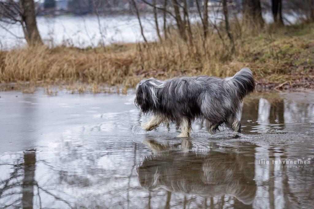 Partacollie-narttu Pilke kävelemässä jäällä
