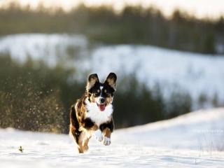 Pieni amerikanpaimenkoira Lotte juoksemassa lumi pöllyten kohti kameraa lumisessa maastossa