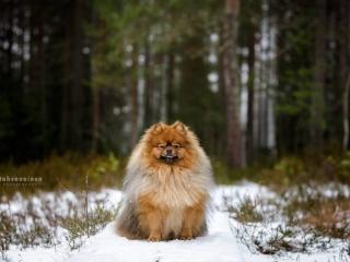 Pomeranian-uros Fido istumassa lumisilla pitkospuilla Sonninmäen luontopolulla, Hyvinkäällä ja katsomassa kameraan