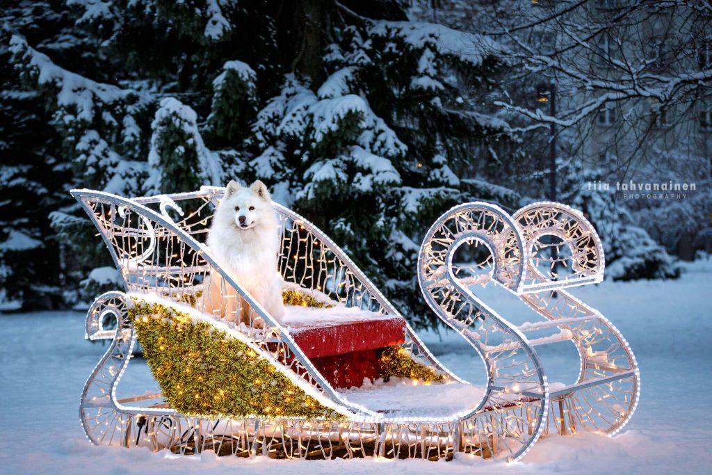 Samojedi-narttu Sissi istumassa jouluvaloin koristellun muovireen penkillä Jyväskylän kirkkopuiston jouluisessa maisemassa