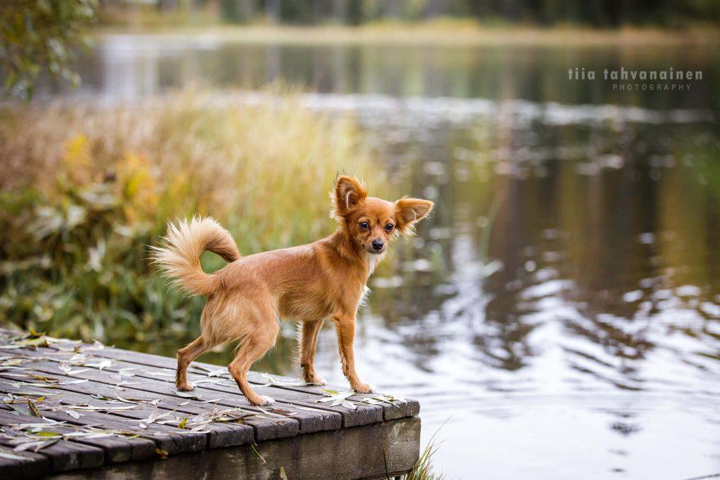 Sekarotuinen, hieman venäjäntoytä muistuttava koira seisomassa laiturilla, katse taaksepäin luotuna