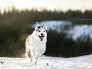 Sekarotuinen uros Velmu juoksemassa suu auki, lumi pöllyten kohti kameraa lumisessa maisemassa Hyvinkäällä
