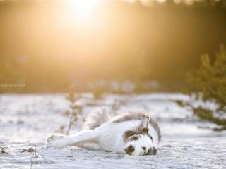 Sekarotuinen uros Velmu makaamassa kyljellään lumisella maalla, katse kameraan luotuna auringon paistaessa suoraan takaa ja värjäten taustan keltaiseksi
