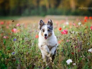 Merle shetlanninlammaskoira-narttu Hups juoksemassa kohti kameraa unikkojen ja ruiskaunokkien peittämällä kukkapellolla Hyvinkäällä