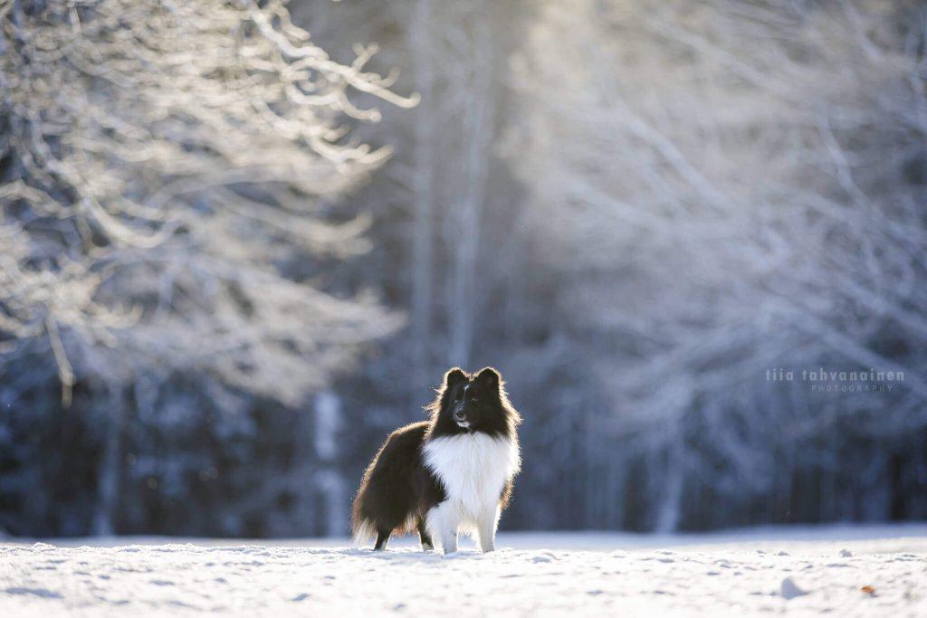 Mustavalkoinen shetlanninlammaskoira seisomassa lumisessa, huurteisessa maisemassa