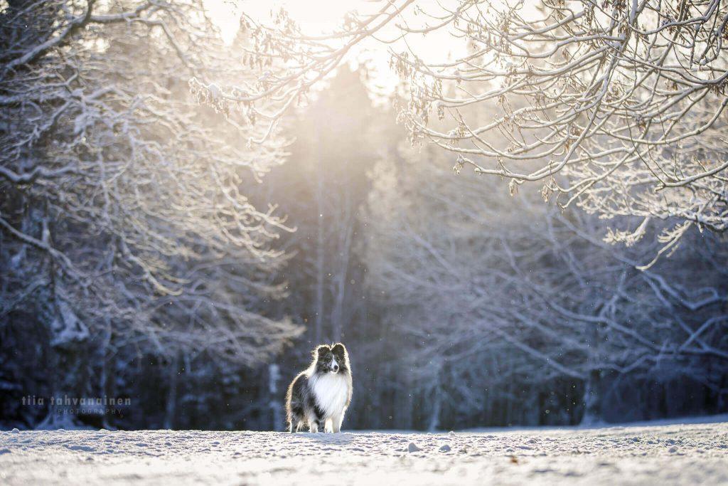 Merle shetlanninlammaskoira seisomassa lumisessa, huurteisessa maisemassa lumen hiljalleen leijaillessa taustalla