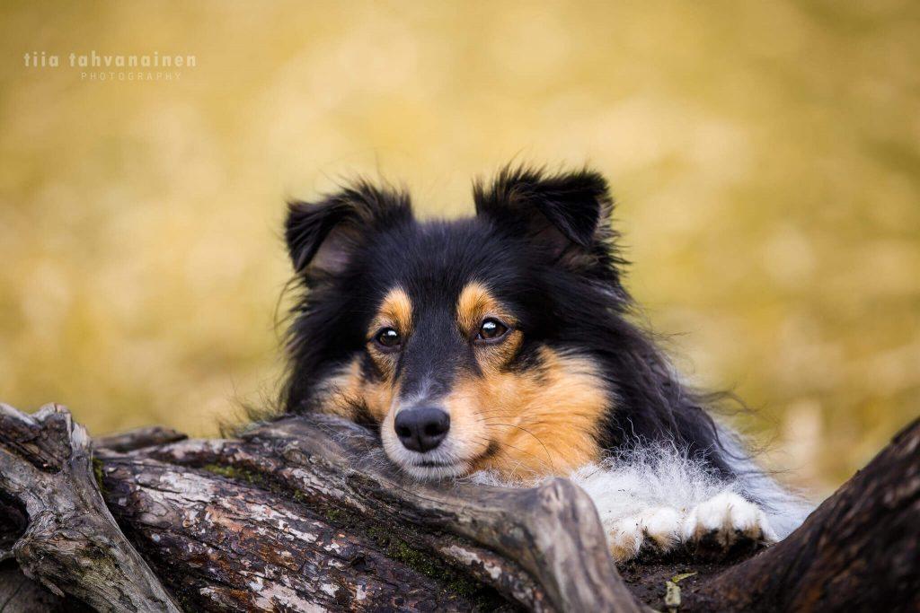 Lähikuva shetlanninlammaskoiran naamasta ja tassuista keltaista lehtitaustaa vasten