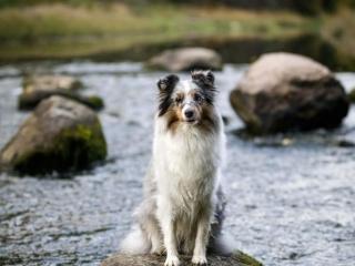 Merle shetlanninlammaskoira istumassa Myllykoskella, Nurmijärvellä kivellä kosken keskellä veden virratessa taustalla