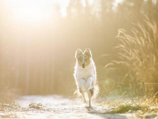 Shetlanninlammaskoira juoksemassa kohti kameraa keltasävyisessä maisemassa auringon paistaessa suoraan koiran takaa