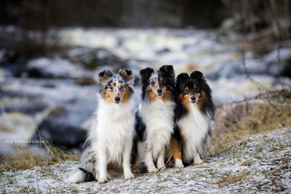 Shetlanninlammaskoira-kolmikko istumassa kokojärjestyksessä isommasta pienempään Myllykosken kuohujen jäädessä taustalle