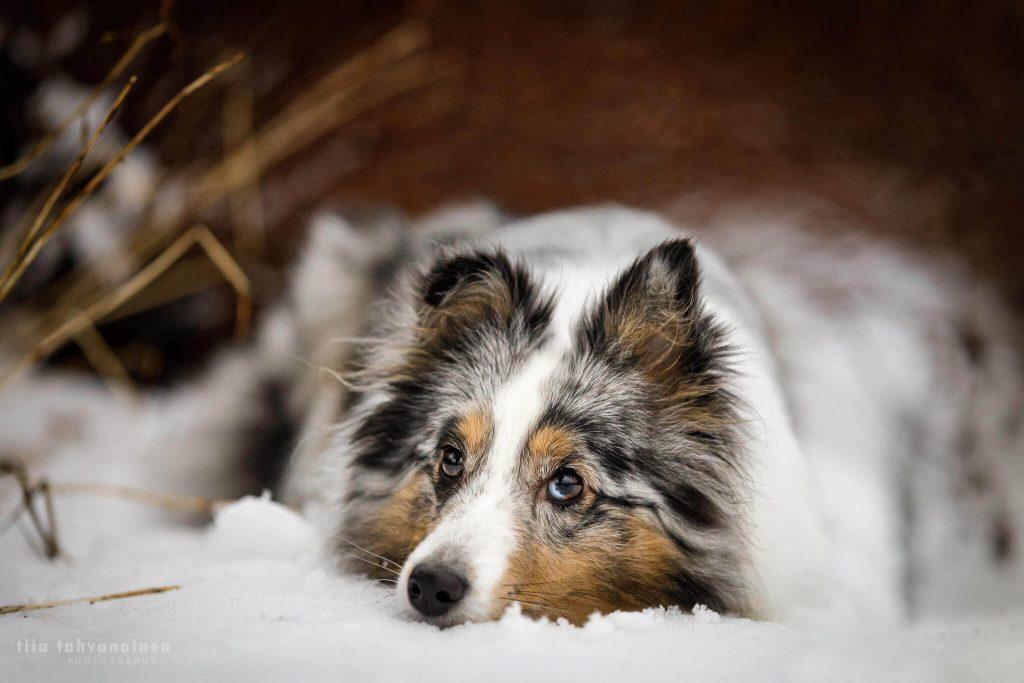 Lähikuva shetlanninlammaskoira Hupsin naamasta tämän maatessa lumisella maalla, pää maahan painettuna