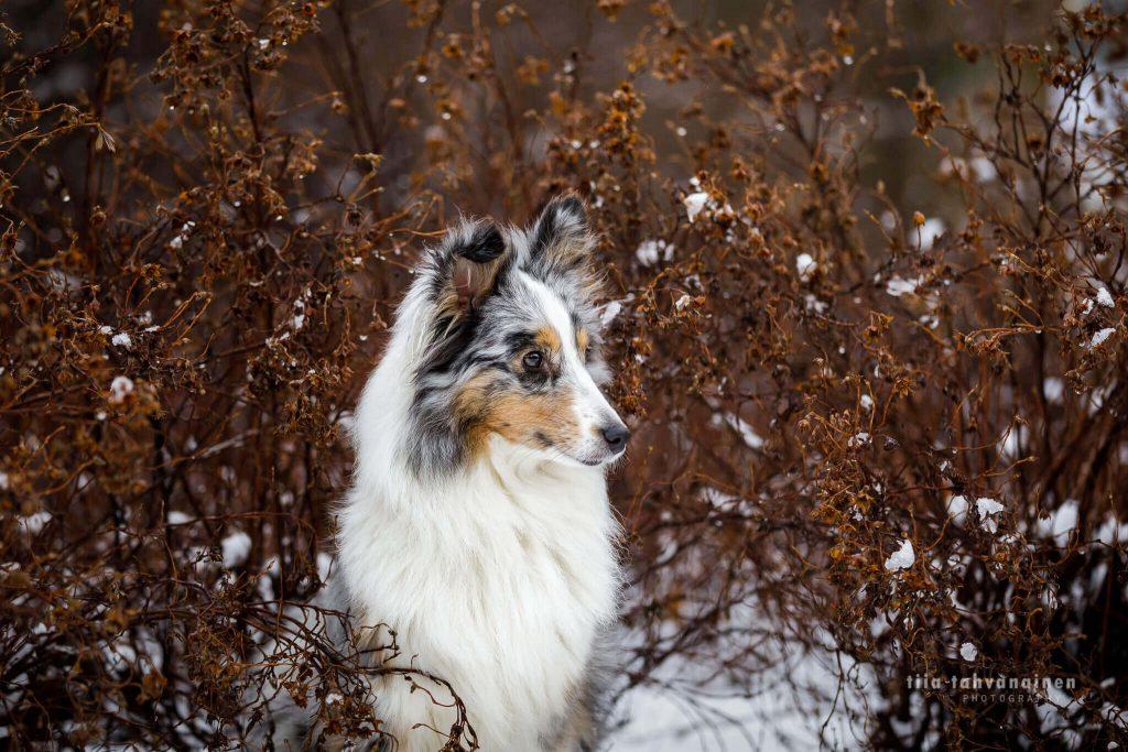 Potretti shetlanninlammaskoira Hupsista ruskeiden oksien keskellä talvella Hyvinkäällä
