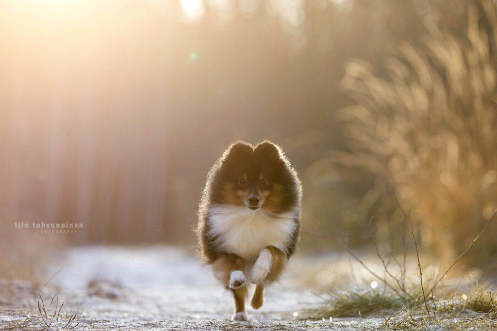 Shetlanninlammaskoira Miska juoksemassa kohti kameraa auringon paistaessa suoraan koiran takaa ja värjäten taustan puna-keltasävyiseksi