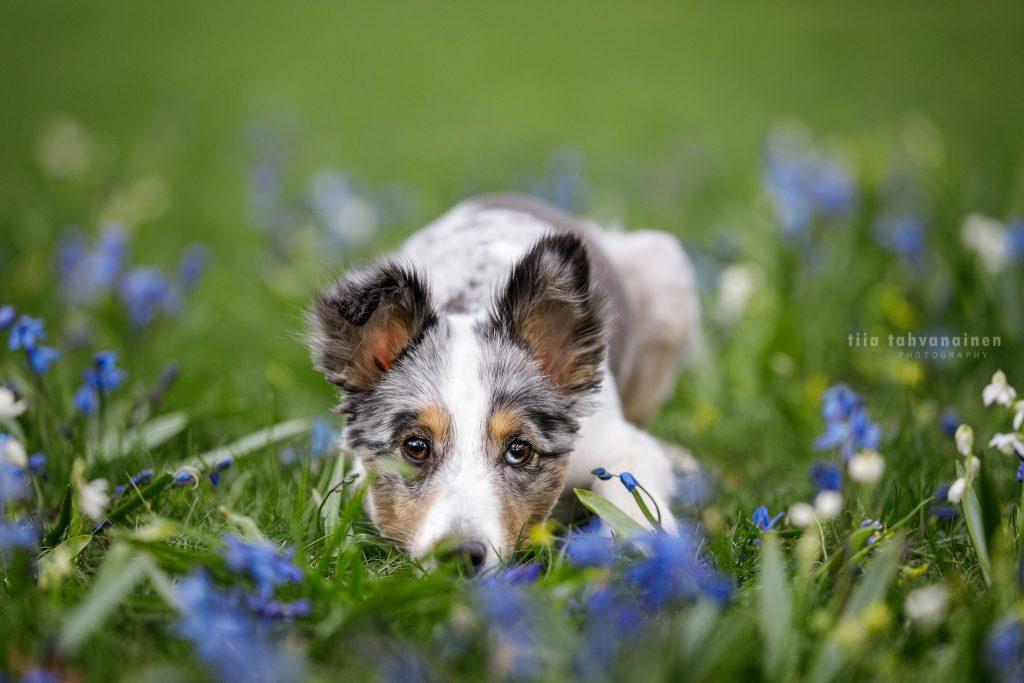 Shetlanninlammaskoira Hups makaamassa pää maassa sinisten kukkien ympäröimänä katse kameraan luotuna