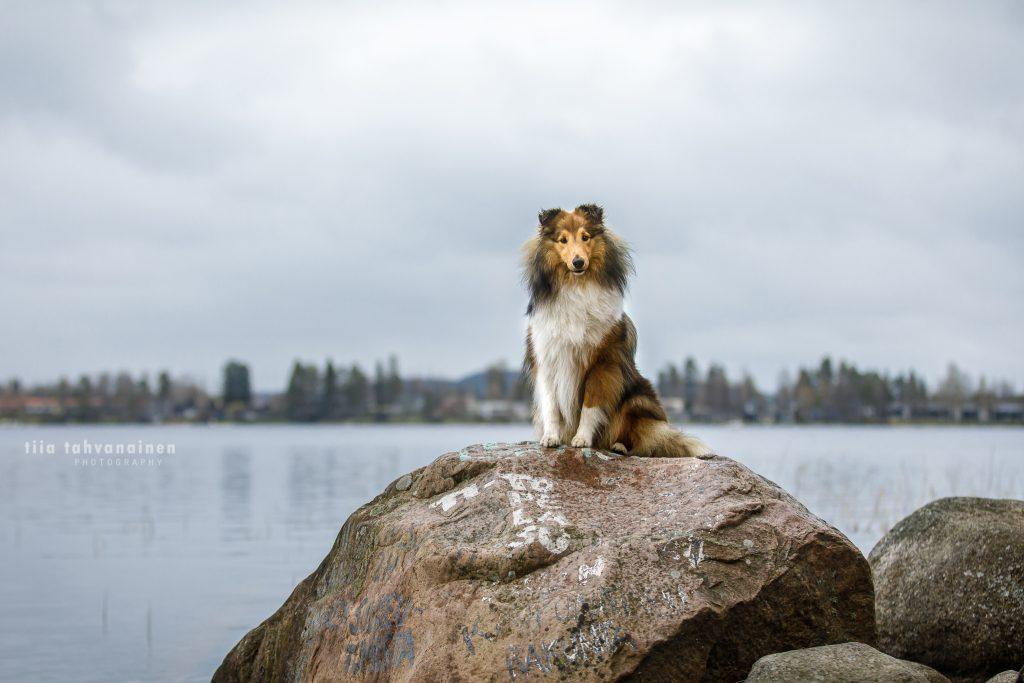 Shetlanninlammaskoira Tico istumassa isolla kivellä järvimaiseman jäädessä taustalle Jyväskylän Viitaniemessä pilvisellä säällä