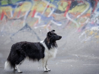 Mustavalkoinen shetlanninlammaskoira-narttu Riihimäellä skeittiparkissa seisomassa ensilumen hiljalleen sataessa maahan