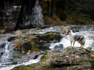 Merle shetlanninlammaskoira seisomassa Myllykoskella, Nurmijärvellä kosken pauhujen näkyessä taustalla