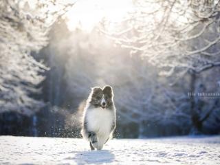 Merle shetlanninlammaskoira juoksemassa kohti kameraa lumisessa maisemassa, lumen pöllytessä