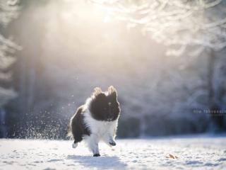 Mustavalkoinen shetlanninlammaskoira juoksemassa kohti kameraa lumisessa maisemassa, lumen pöllytessä