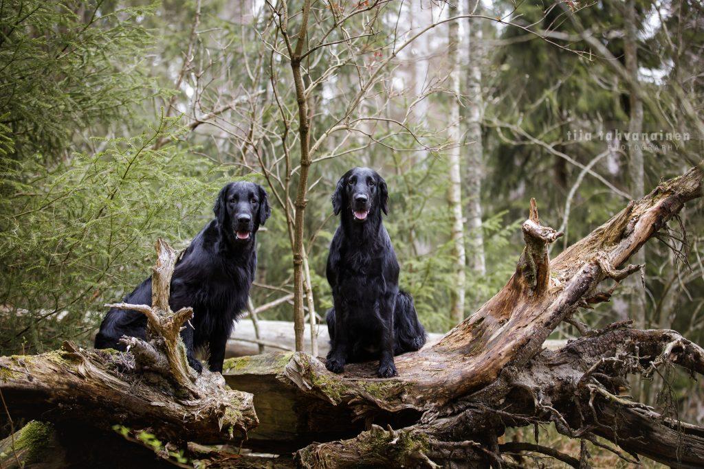 Sileäkarvaiset noutajat Saga ja Simo istumassa kannolla vieretysten ja katsoen kameraan Espoon keskuspuistossa