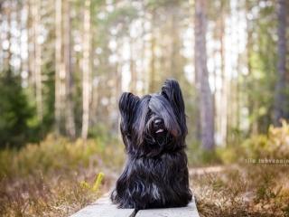 Mustaharmaa skyenterrieri Jellona istumassa pitkospuilla Sonninmäen luontopolulla Hyvinkäällä