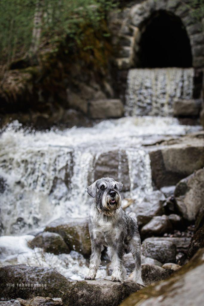 Snautseri Romi Jyväskylän Korkeakoskella veden kuohuessa aivan koiran vieressä