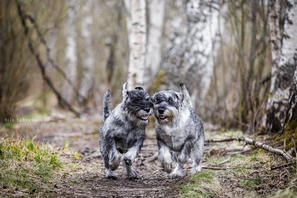 Snautserit Romi ja Hugo juoksemassa kohti kameraa koivutaustaa vasten