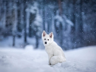 Valkoinen paimenkoirapentu Naava istumassa lumihangessa katse kameraan luotuna taustan värjäytyessä sinertäväksi ja lumen hiljalleen leijaillessa