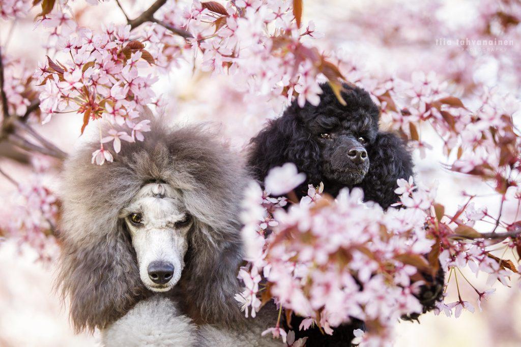 Pääkuva villakoirista Mimi ja Franz vaaleanpunaisten kirsikkapuiden katveessa