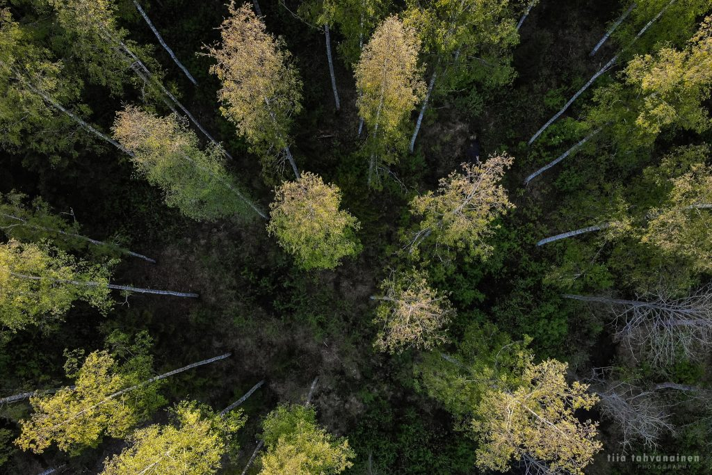Dronekuva Hyvinkäältä, koivumetsää ylhäältä päin kuvattuna