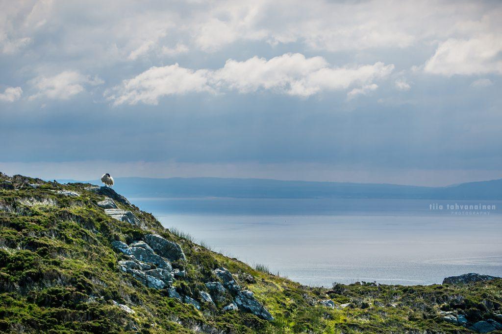 Lammas paistattelemassa päivää Irlannin Slieve Leaguen kallioiden reunoilla meritaustaa vasten auringonsäteiden tullessa pilvien raoista