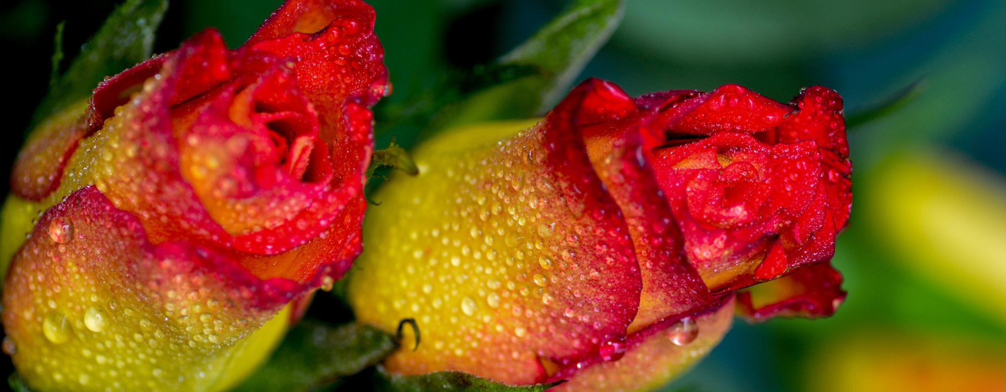 Två rosor i dagg