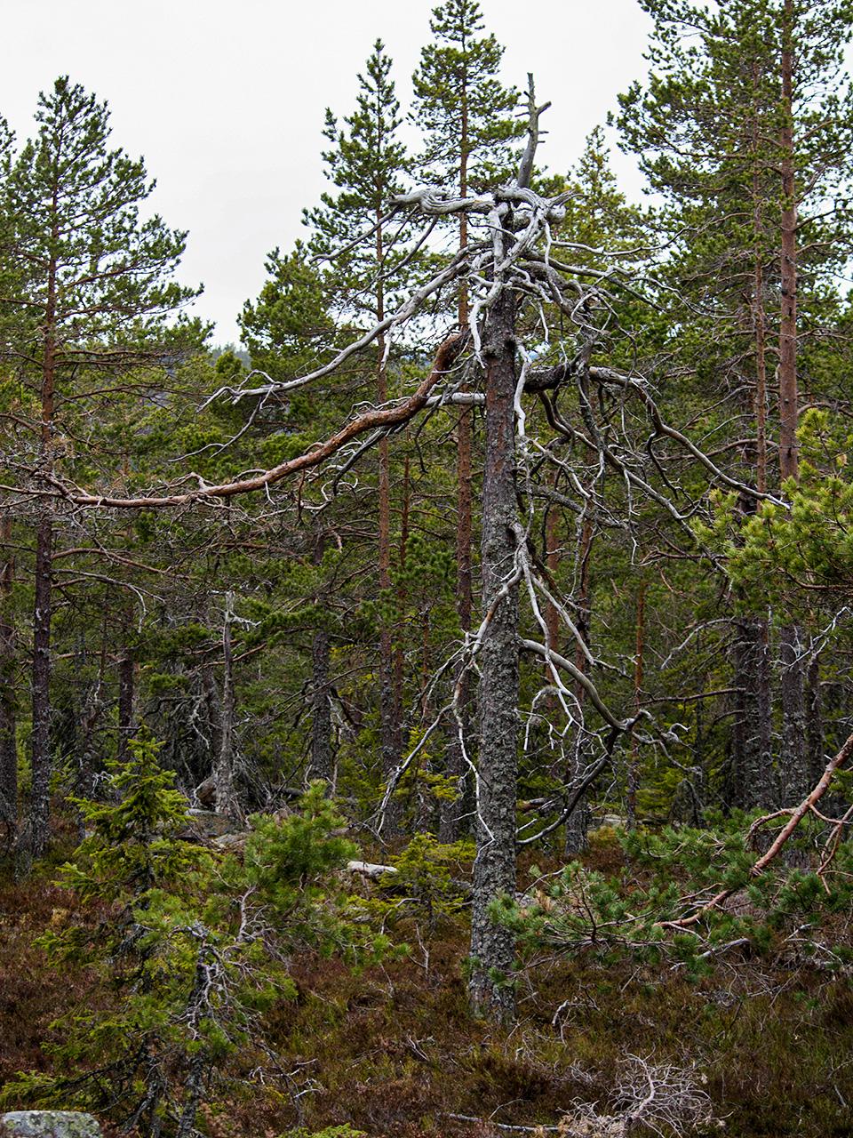 träd-i-skogen